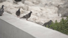 Pigeon bird walks in slow motion at a walkway, ground Stock Footage