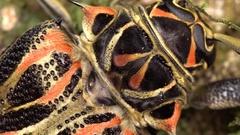 Detail of a Harlequin Beetle (Acrocinus longimanus). Stock Footage