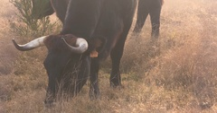 Sayaguesa cow grazing - on camera - in rewilding area at Planken Wambuis Stock Footage