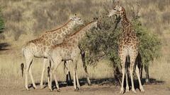 Feeding giraffes feeding on a thorn tree, Kalahari desert, South Africa Stock Footage