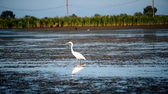 Great egret or white heron, standing in a lake Stock Footage