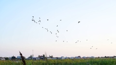 Pelicans fly in the sky in formation Stock Footage