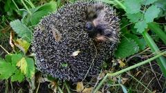 European hedgehog unrolls from a ball Stock Footage