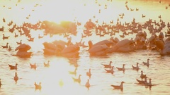Many pelicans and sea gulls forage on water Stock Footage