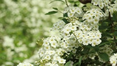 Blossomed branches with white flowers blowing by the wind Stock Footage