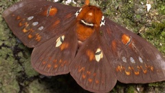 Unidentified moth, family Saturniidae at rest on a mossy tree trunk Stock Footage