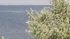 Green olive tree on the seaside Stock Footage