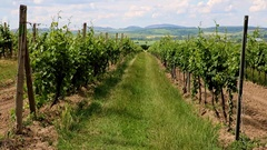 Rows of green tree of grapes in a vineyard, South Moravia, Czech republic Stock Footage