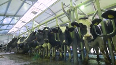 Automated milking of cows at a farm Stock Footage