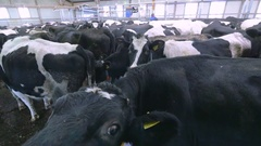 Dairy cows in a farm Stock Footage