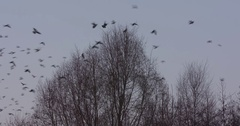 Flock of pigeons swarming around trees, alight on branch, gather together Stock Footage