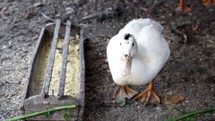 White duck, quacking. Stock Footage