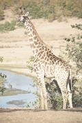 In south africa    wildlife   reserve and      giraffe Stock Photos