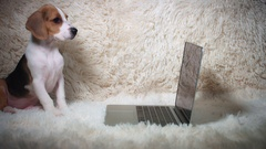 4k Shot of a Beagle Puppy Dog Looking at Laptop Stock Footage