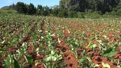 Cuban Tobacco plantation with young leaves. Vuelta Abajo, Pinar del Rio Stock Footage