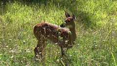 A young fawn white-tailed in the Catskills, New York, United States. Stock Footage