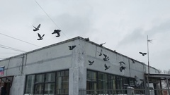 Pigeons fly in slow motion Stock Footage