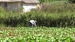 Cuban farmer is planting tobacco nursery stock. Vuelta Abajo, Pinar del Rio Stock Footage