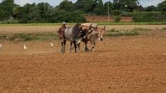 Cuban farmer plows the field with oxen to plant tobacco saplings. Pinar del Rio Arkistovideo