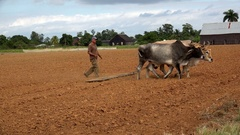 Cuban farmer plows the field with oxen to plant tobacco saplings. Pinar del Rio Stock Footage