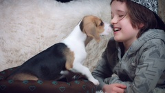 4k Shot of a Beagle Puppy Dog Leaking his Owner Child Stock Footage
