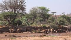 Herd of African elephants roaming through riverbed, UHD 4K Stock Footage