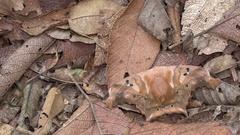 Giant silk moth (Titaea tamerlan) Stock Footage