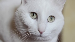 White cat with green eyes Stock Footage