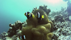 Clownfish surrounding their beautiful anemone Stock Footage