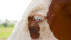 Close-up of a head of a brown cow in a meadow Stock Footage
