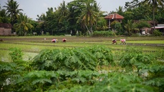 Planting young rice in ricefields in Indonesia Stock Footage