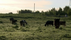 Herd of dairy cows grazing in meadow at farm Stock Footage