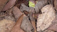 Tilt down to a Giant silk moth (Titaea tamerlan) Stock Footage