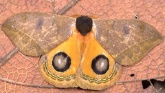 Saturniid moth (Automeris argentifera) Stock Footage