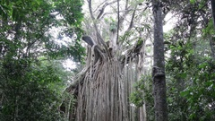 Huge curtain fig tree of Cairns Highlands Stock Footage