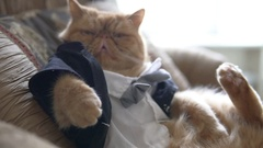 Persian cat in the suit with bow tie and jacket sits on sofa like a boss Stock Footage