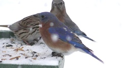 Bluebirds With Snow Stock Footage