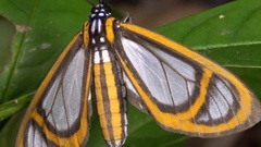 This moth is mimicking the wing pattern of certain toxic Ithomiid butterflies Stock Footage