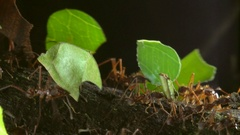 Slow motion shot of leaf cutter ants (Atta sp.)  Stock Footage