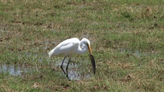An egret catches a fish in a swamp Stock Footage