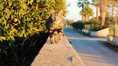 Tiger cat comes up and looks at the camera Stock Footage