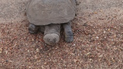 A terrapin walking towards the camera Stock Footage