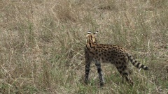 A serval cat walking away from the camera Stock Footage
