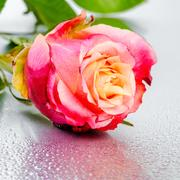 Beautiful pink rose flower on light background with drops, close up Stock Photos