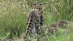 A serval cat stalking a prey Stock Footage