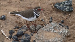 A plover with a ground nest with eggs Stock Footage