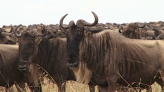 A large group of migrating wildebeest Stock Footage
