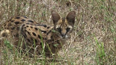 A serval cat in the wild Stock Footage