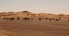 Dromedaries, Camels In Sahara Desert, Morocco Stock Footage