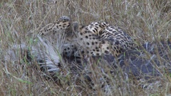 A cheetah suffocating a wildebeest Stock Footage